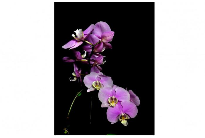 Картина Фиолетовая орхидея на чёрном фоне